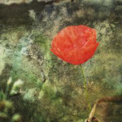Mohnblüte im September