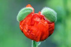 Mohnblüte mit Kappen