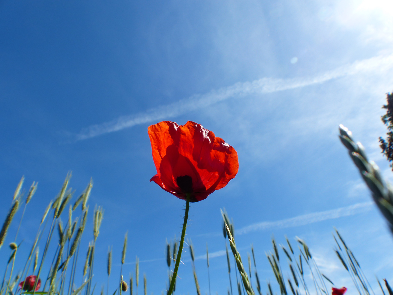 Mohnblüte und Himmel