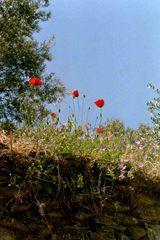 Mohnblumen auf einer Insel im Mittelmeer