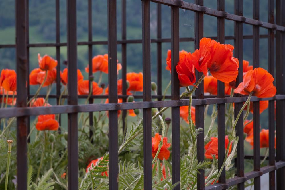 Mohnblumen hinter Gitter