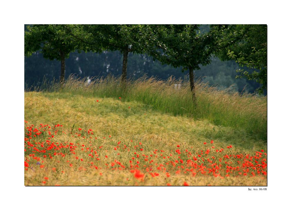 Mohnblumen im Getreidefeld.