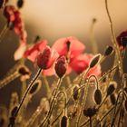 Mohnblumen im Morgenlicht