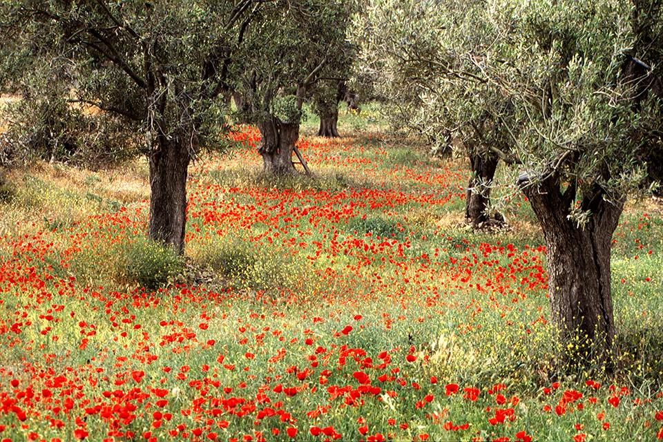 Mohnblumen unter Olivenbäumen