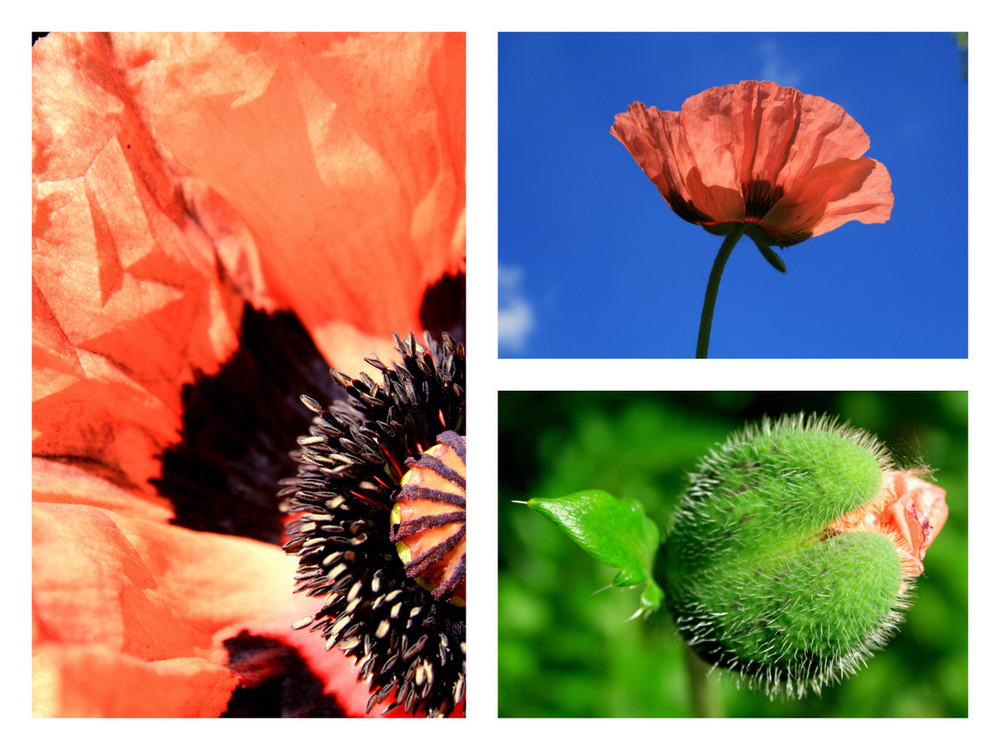 Mohn/Collage