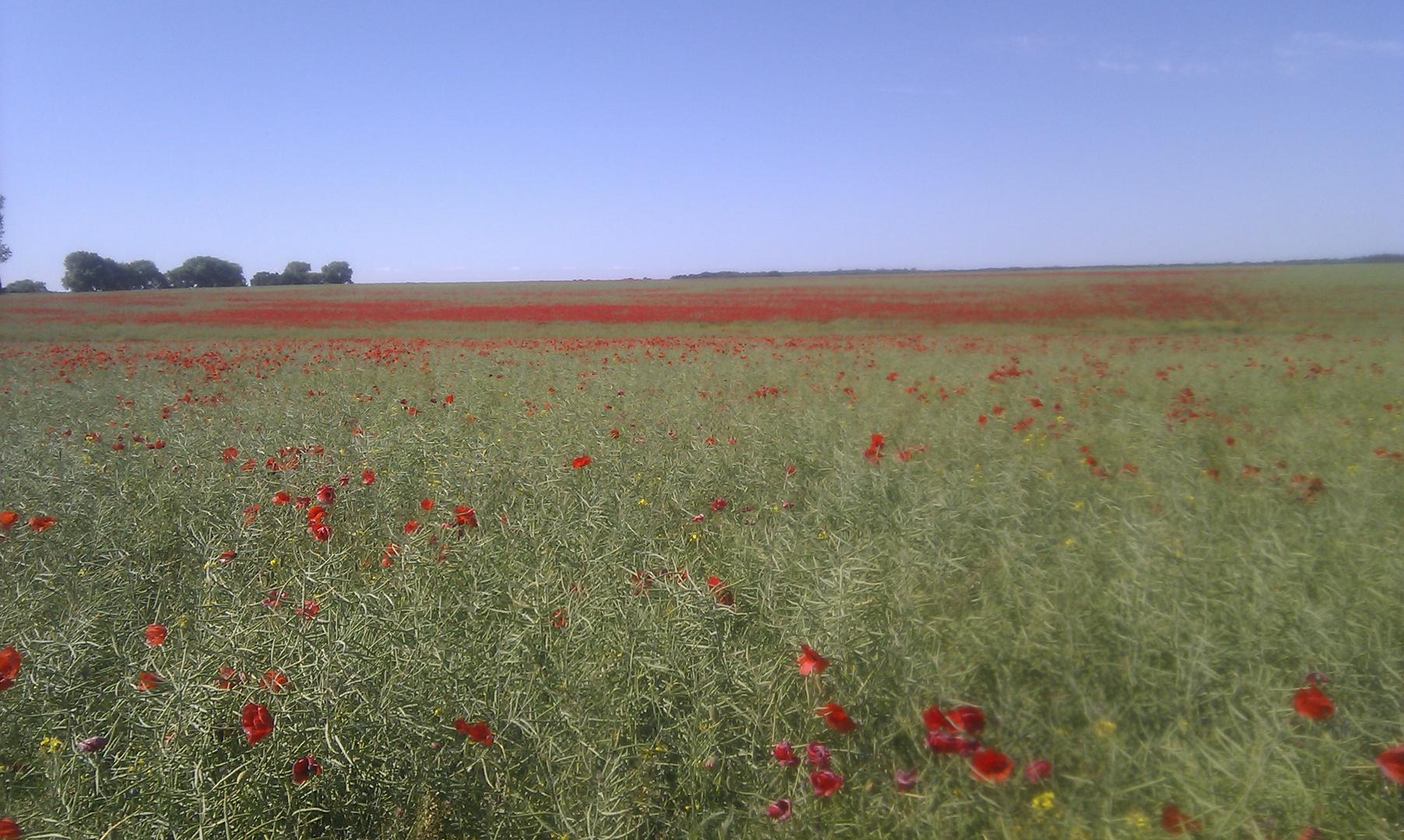 Mohnfeld im Sommer