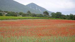 Mohnfeld in der Provence bei Rustrel