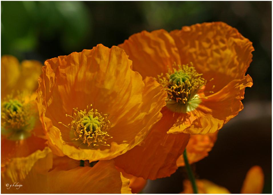 Mohnliebe: Islandmohn orange