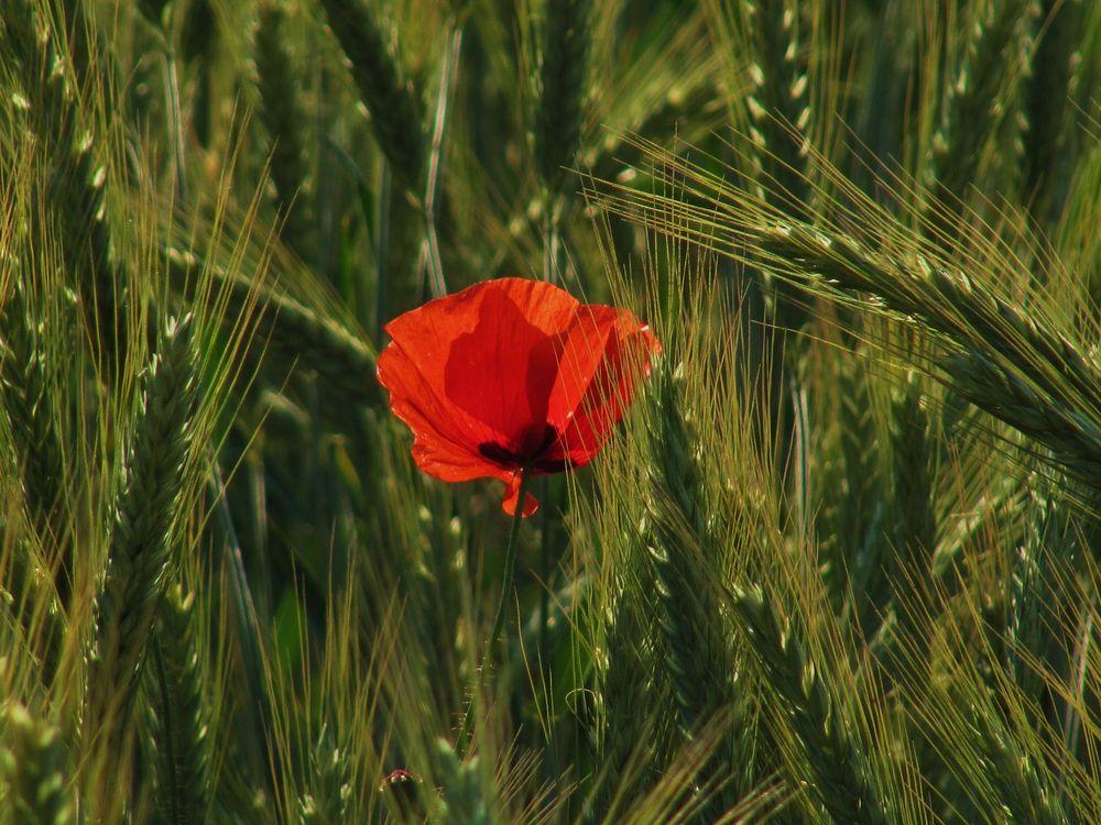 """Mohnshine on a cornfield""..."