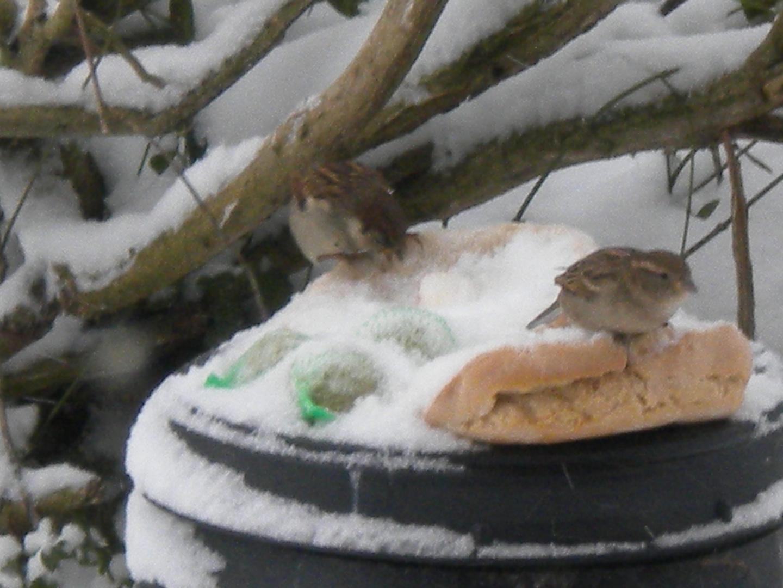moineaux sous la neige