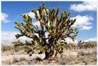Mojave Kalifornien, Joshua Tree