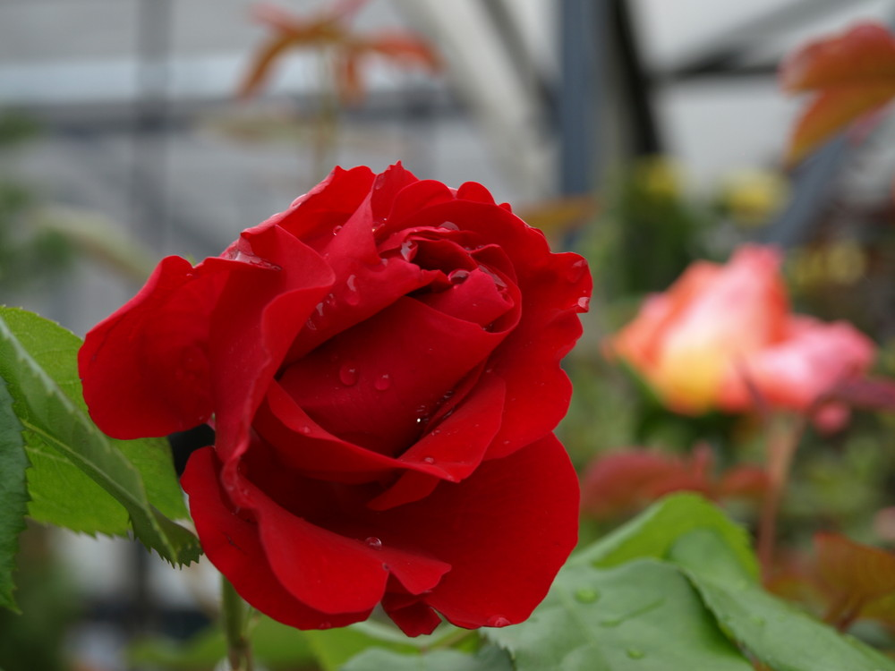 Mon amie la Rose