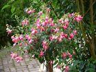 Mon beau Fuchsia