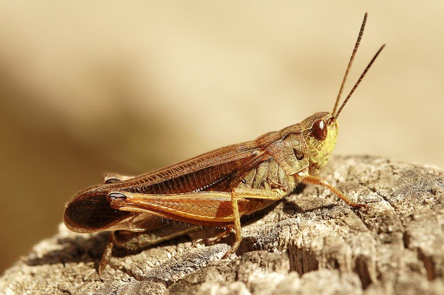 mon cricri d 39 amour photo et image macro nature macro insectes sauterelle. Black Bedroom Furniture Sets. Home Design Ideas