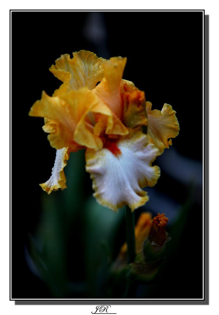 Mon iris à moi -2