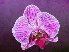 Mon Orchidée du vendredi