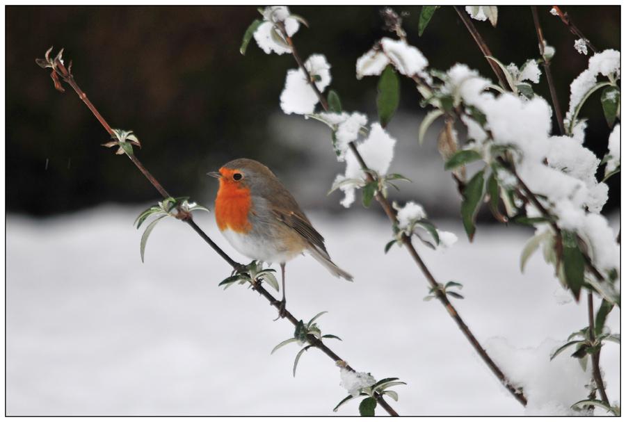 Mon rouge-gorge et la neige