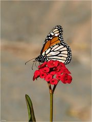 Monarch ...