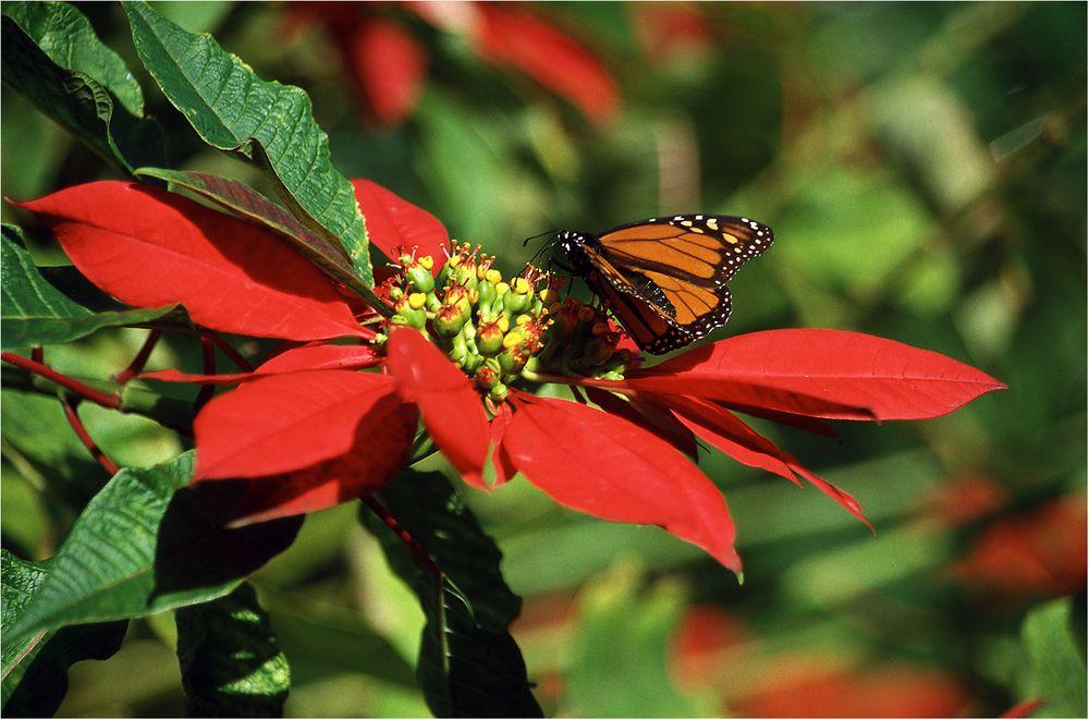 Monarch auf Christstern
