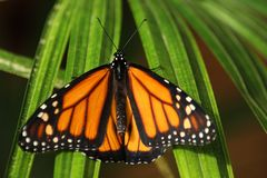 Monarch (danaus plexxipus)