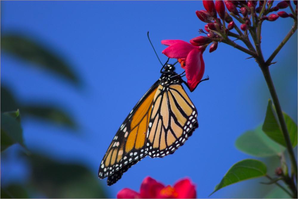Monarch - der Lüfte