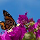 Monarch..