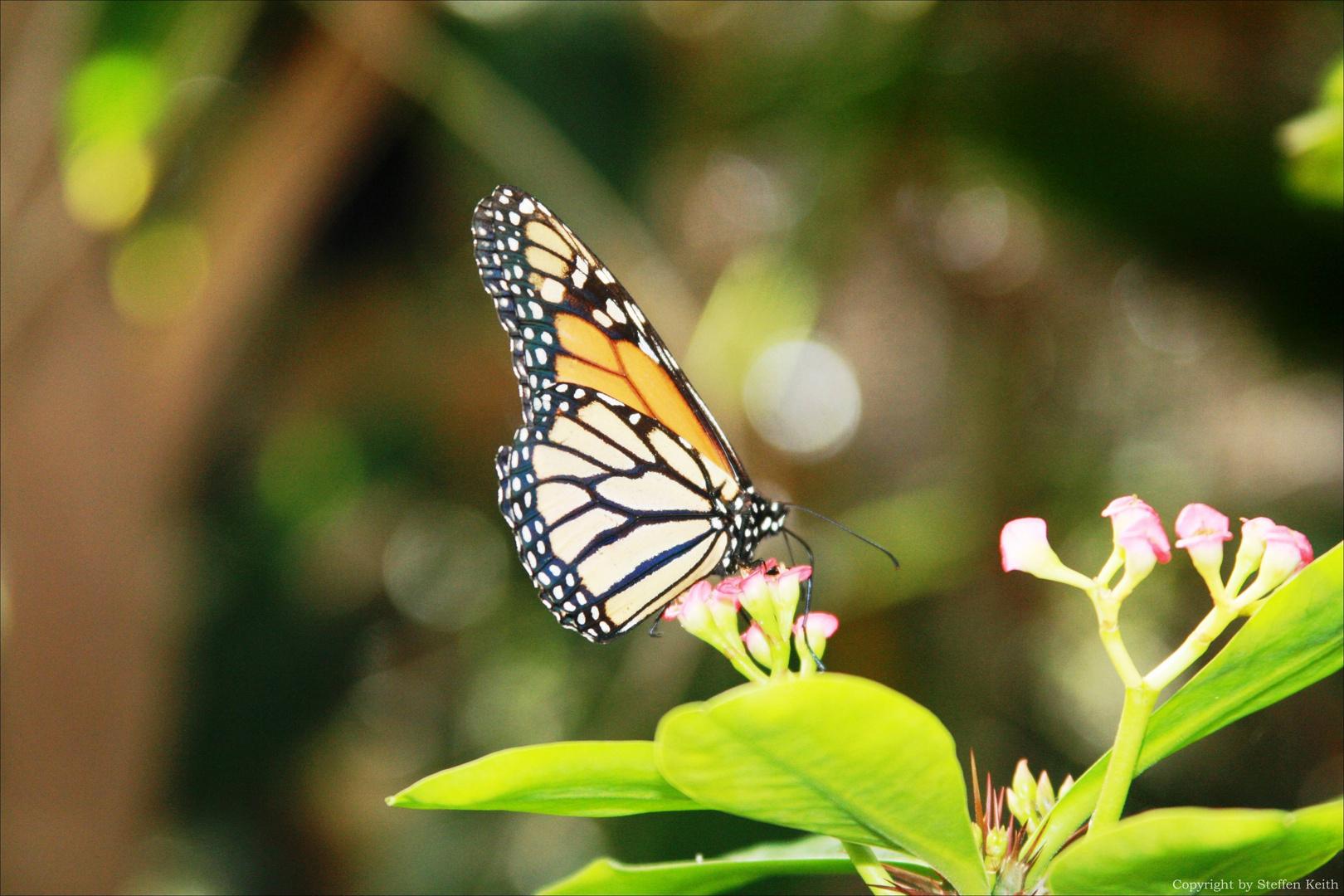 Monarch Falter auf Fuerteventura