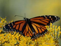 Monarch in Colorado