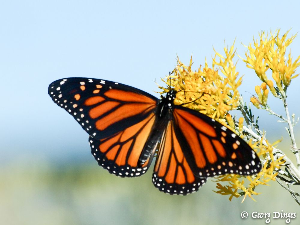 Monarch nahe Denver im Oktober 20131008