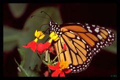 """"""" Monarch """" Schmetterlingsgarten in Uslar"""