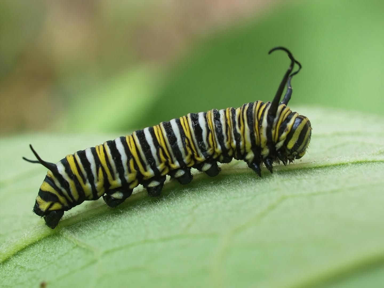 Monarchen & Verwandte - 2 - Monarch in den Kinderschuhen