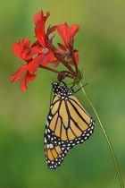 Monarchfalter #4