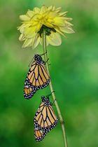 Monarchfalter Duo #3