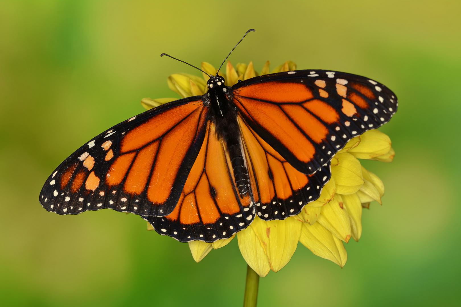 Monarchfalter Männchen