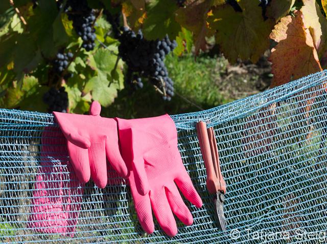 Monatsthema Oktober 2012 - Weinlese