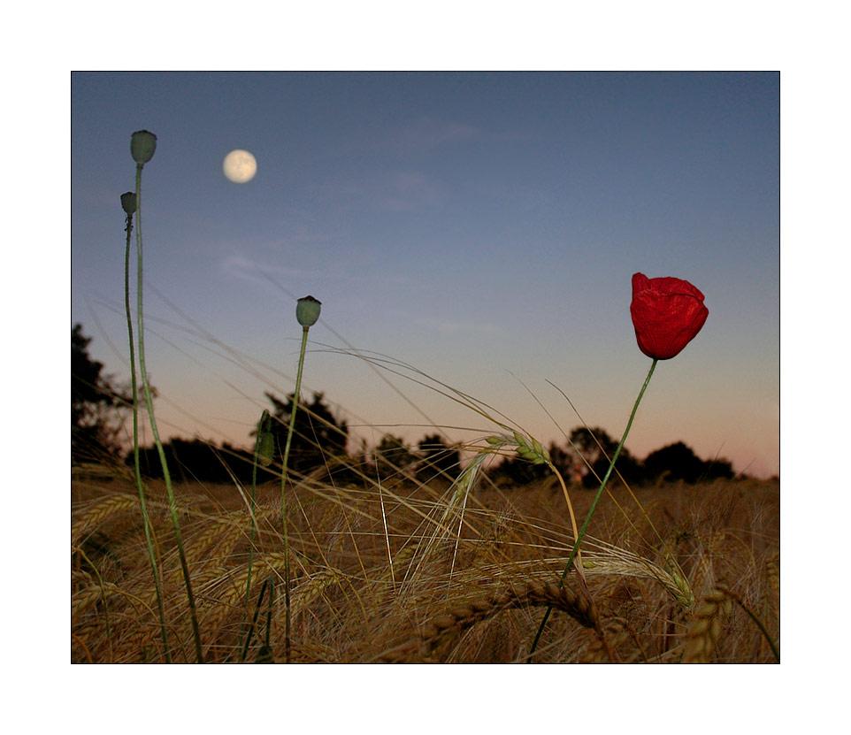 Mond mit Mohn im letzten Sonnenlicht, No.2