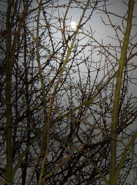 Mondlicht in den Zweigen