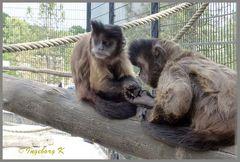Mondo-Verde - Affen beim Spiel