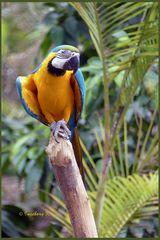 Mondo-Verde - ein aufmerksam beobachtender Papagei