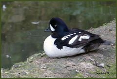 Mondo-Verde - eine ungewöhnliche Ente