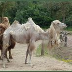 Mondo-Verde - Kamele in der Mauser