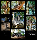Mondo Verde - Kattas aus der Gruppe der Lemuren