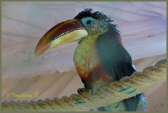 Mondo-Verde - Vogel-mit-Riesenschnabel  - Wer weiß den Namen?