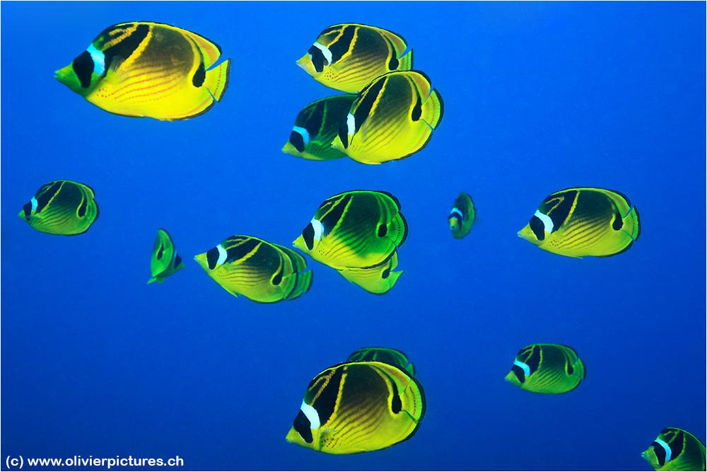 Mondsichel-Falterfische