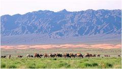 Mongolei Kamele.