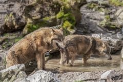 Mongolische Wolf - Canis lupus chanco