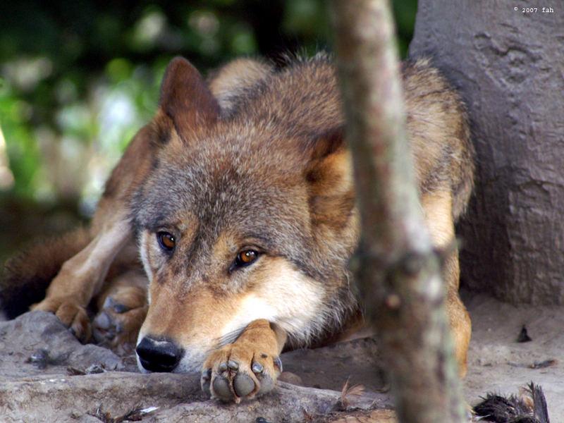 Mongolischer Wolf im Zoo Zürich (Juli 2007)