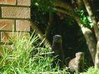 Mongoose in KZN
