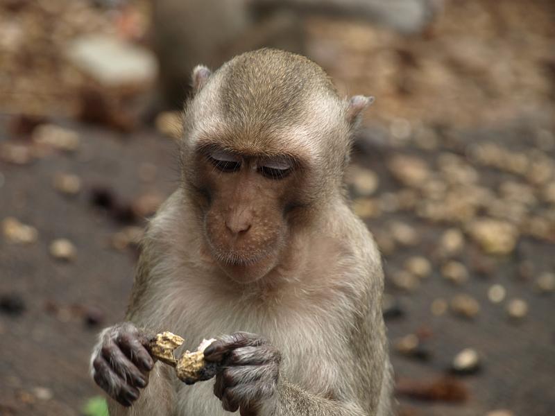 Monkey enjoys peanut