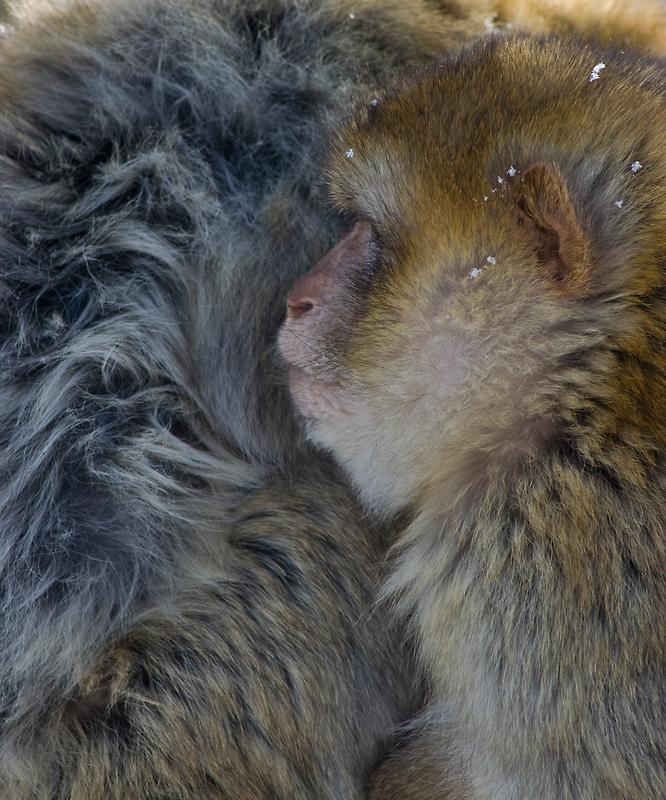 monkey & snow III